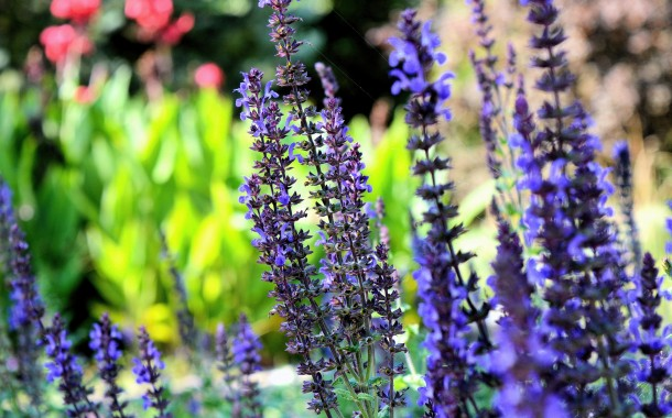 Fall in love with lavender!